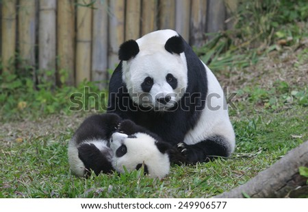 PANDA TRIPLETS HALF-BIRTHDAY The triplets, which reached 6-month-old on Feb. 1., were the fourth set of giant panda triplets born with the help of artificial insemination procedures in China. - stock photo