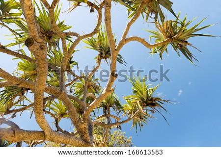 Pandanus palm trees populate North Stradbroke Island, Australia - stock photo