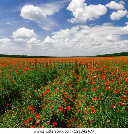 Panorama of a poppy field in bright sunny day - stock photo