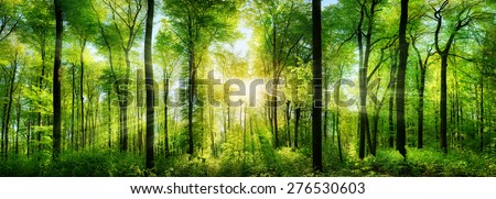 Panorama of a scenic forest of fresh green deciduous trees with the sun casting its rays of light through the foliage - stock photo
