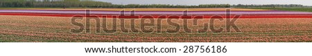 panorama of a tulipfield - stock photo