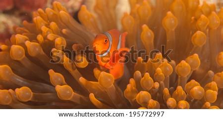 Panorama of an orange anemone fish underwater - stock photo
