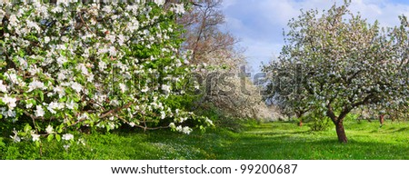Panorama of blossom apple-trees garden at the spring. Sunny day - stock photo