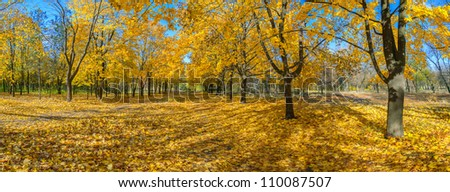 Panorama of the big maple alleys strewn with yellow leaves, autumn landscape - stock photo