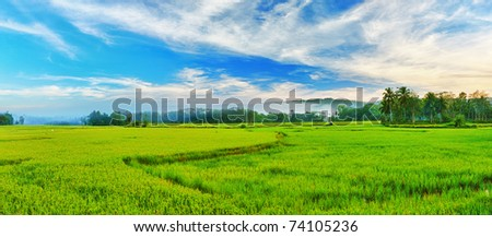 Panorama of the paddy rice field. Philippines - stock photo
