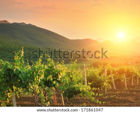 Panorama of vineyards on the sunset - stock photo