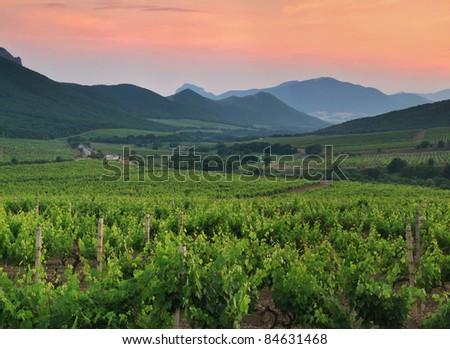 Panorama of vineyards on the sunset - stock photo