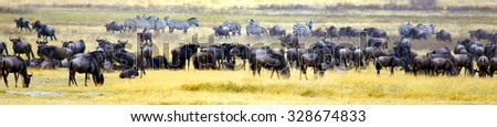 panorama photograph from the wildebeast and zebra' migration  in africa  - stock photo