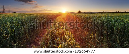 Panorama Sunset over wheat field with path. - stock photo