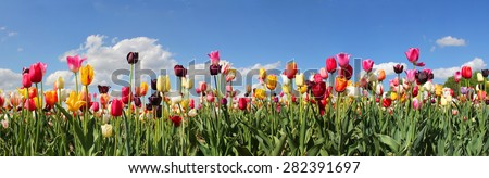 panorama tulip field with various type and color - stock photo