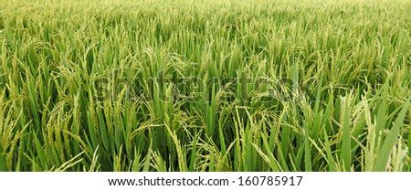 Panorama view of a green rural tropical rice field.  - stock photo