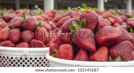 panoramic close up image of freshly picked ripe strawberries ready to be taken to a market - stock photo