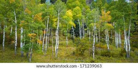 Panoramic color image of Aspen trees in the fall season in the Southwest US. - stock photo