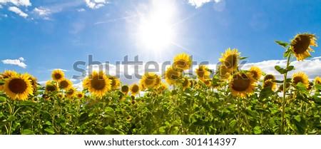 Panoramic photo of a sunflower field - stock photo