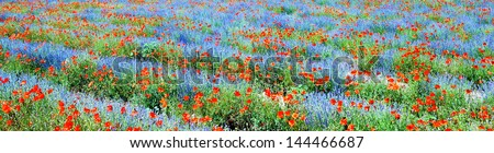 Panoramic view, field of violet lavender and red poppy flowers - stock photo