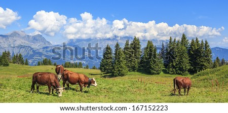 Panoramic view of brown cows with the Alps in the background - stock photo