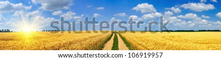 Panoramic view of golden wheat field  by summertime. - stock photo