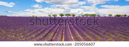 Panoramic view of Lavender field in Provence, near Gordes, France - stock photo