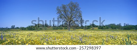 Panoramic view of spring flowers and large single tree off Route 58 on Shell Creek Road west of Bakersfield, California - stock photo