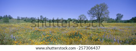 Panoramic view of spring flowers off Route 58 on Shell Creek Road west of Bakersfield, California - stock photo