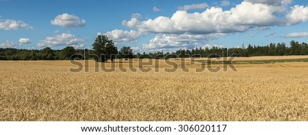Panoramic view on field of ripening wheat - stock photo