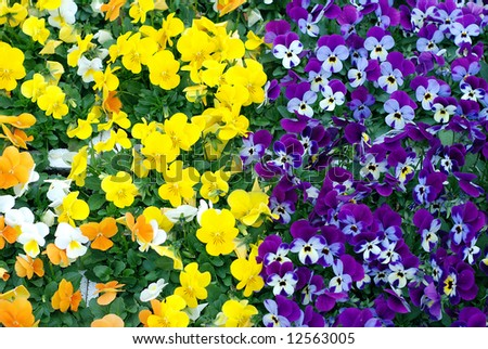 Pansies for sale in a flower nursery taken between two different colored rows - stock photo