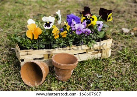 pansies in a basket - stock photo