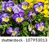 Pansies in different colors - stock photo
