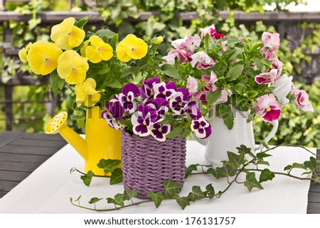 Pansy bouquets in three different colors, decorated with ivy - stock photo