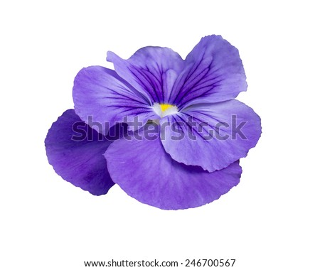 Pansy flower closeup, isolated on white - stock photo
