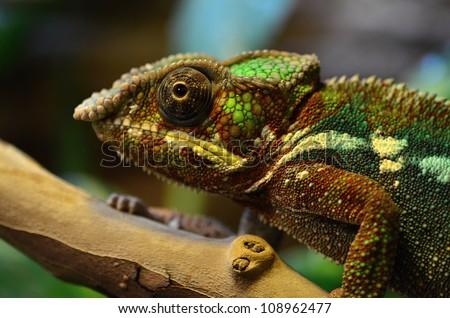 Panther chameleon - stock photo