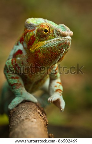 Panther Chameleon - stock photo