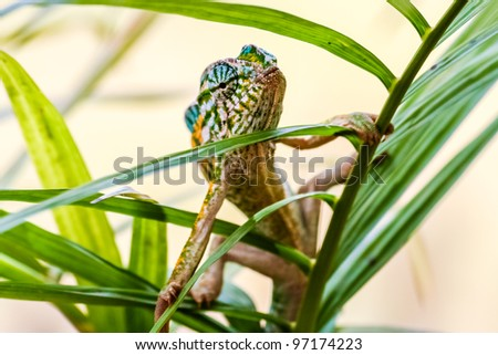 Panther chameleon, endemic reptile of Madagascar - stock photo