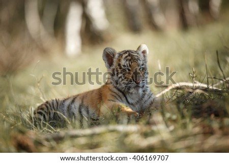 Panthera tigris altaica. Cute siberian tiger cub lying on grass and sleeping. Tired tiger. Blurred trees background. - stock photo