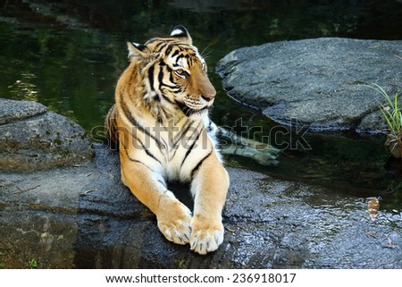 Panthera tigris tigris - stock photo