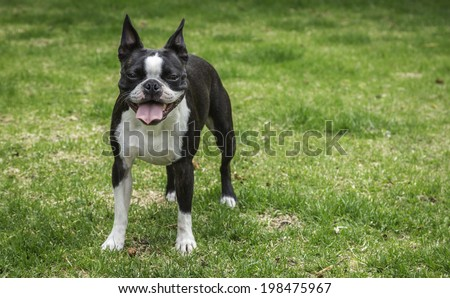Panting Boston Terrier Dog - stock photo