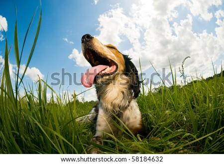 Panting dog resting in the field - stock photo