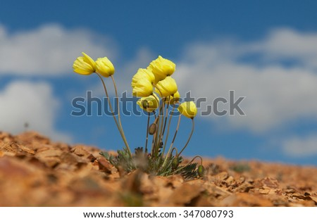 Papaver alpinum on blue sky background - stock photo