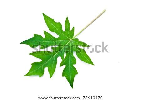 Papaya leaf isolated on white. - stock photo