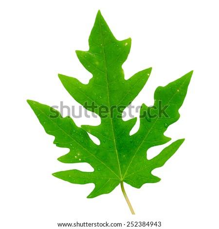Papaya leaf isolated on white background. - stock photo
