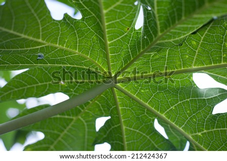 Papaya leave texture - stock photo