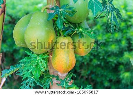 Papaya on the papaya tree in garden - stock photo