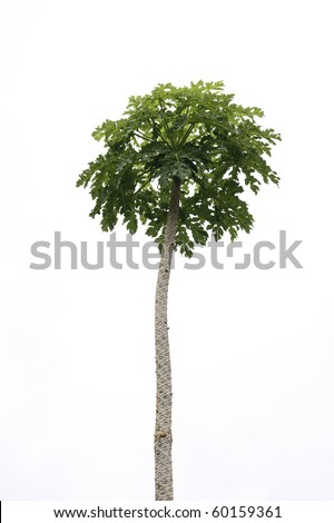 Papaya Tree - stock photo