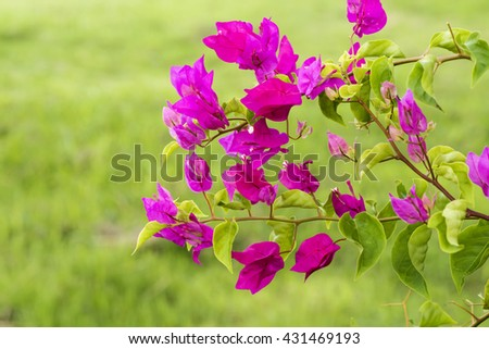 Paper Flower, Bougainvillea (Bougainvillea glabra Choisy): sacred trees, ornamental trees, flowering plants and eat the chips have medicinal properties. - stock photo
