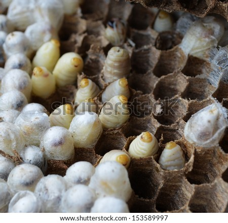 Paper wasp larvae in a nest - stock photo