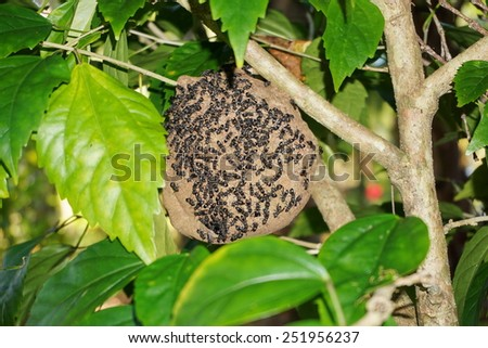 Paper wasp nest, Polybia Sp, with group of wasps outside, Central America, Costa Rica - stock photo