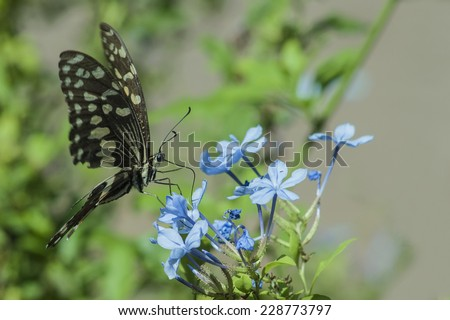 Papilio demodocus, also known as the citrus swallowtail ~ South Africa - stock photo