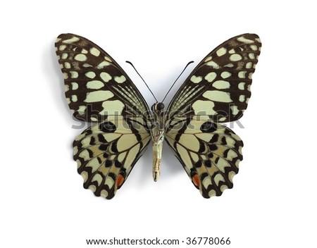 Papilio demodocus (Citrus butterfly, Orange Dog, Christmas Butterfly) (underside) - stock photo