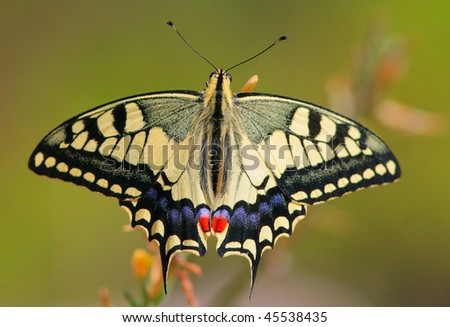 Papilio machaon butterfly on flower - stock photo