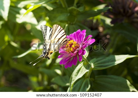 Papilio machaon butterfly on the red dahlia flower - stock photo